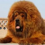 World's Most Expensive Dog – Tibetan